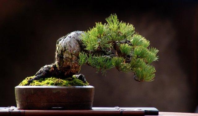 cultivo-bonsai2