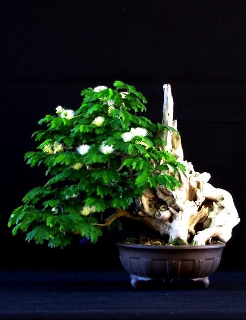 Bonsai Pitecolobium  Piteco 9908