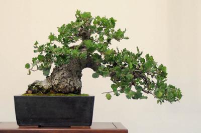 bonsai-proporções